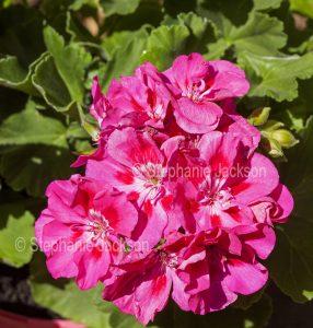 Bright pink flowers of geranium, Pelargonium x hortorum 'Pinktastic'.