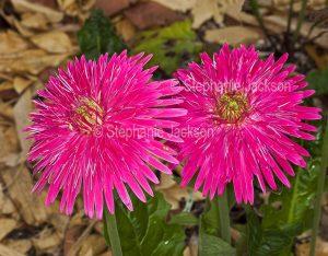 Vivid pink flowers of a Gerbera bauerii nobleflora cultivar