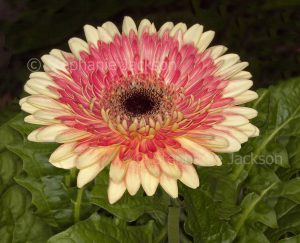 Double apricot and pink / red flower of Gerbera jamesonii on background of dark green leaves