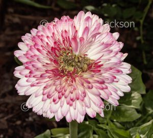 Pink and white flecked double flower of Gerbera jamesonii cultivar