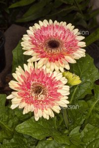 Double apricot and pink / red flowers of Gerbera jamesonii