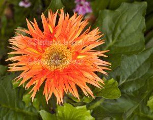 Vivid orange flower with frilly petals, Gerbera jamesonii cultivar