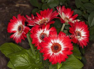 Cluster of red flowers with white centres of Gerbera jamesonii cultivar