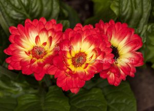 Cluster of red flowers with yellow centres of Gerbera jamesonii