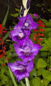 Purple flowers of gladiolus, bulbous plant grown for its value as a cut flower.