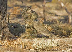 Australian lace monitor lizards, goannas, Varanus varius, mating