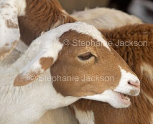 Brown and white goat.