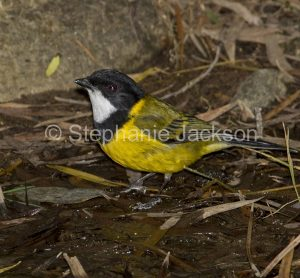 Golden Whistler, Pachycephala pectoralis in the shallow water of a creek in NSW Australia.
