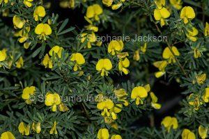 Flowers and foliage of Australian native shrub, Gompholobium virgatum, Golden Wedge Pea, a leguminous species, on Fraser Island, Queensland Australia.