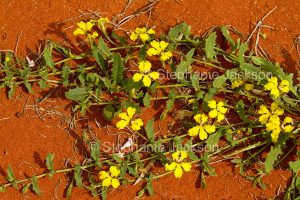 Yellow flowers of Goodenia glabra on red soil at Currawinya National Park outback Queensland Australia.