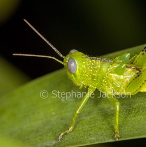Close-up of vivid green young grasshopper, insect pest, with wing buds developing in a garden in Queensland Australia