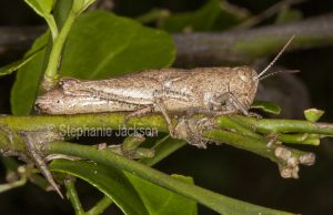 Brown grasshopper camouflaged as a twig on the stem of a plant in a garden in Queensland Australia.