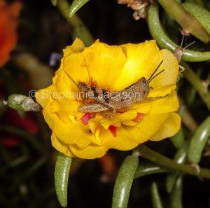 Brown grasshopper, insect pest, on yellow portulaca flower in a garden in Queensland Australia.