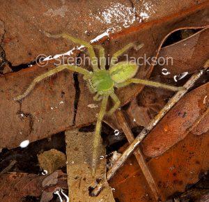 Unusual green huntsman spider Neosparassus species, on forest floor in Queensland Australia.