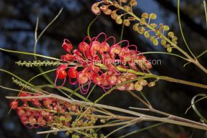 Red flowers of Grevillea longistyla on dark background in Blackdown Tablelands National Park, central Queensland Australia.