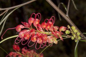 Red flowers of Grevillea longistyla in Blackdown Tablelands National Park, Queensland Australia