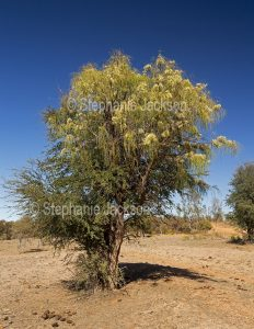 Grevillea parallela, Beefwood / Silver Oak Tree in outback landscape in Queensland Australia.