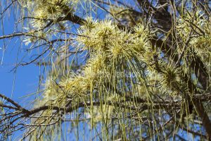 Flowers and foliage of Grevillea parallela, Beefwood / Silver Oak Tree in outback Queensland Australia.