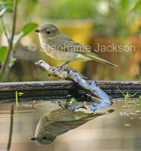 Grey Shrike-thrush, Colluricincla harmonica, bisde and reflected in the water of a garden bir bath / pond in Queensland Australia.