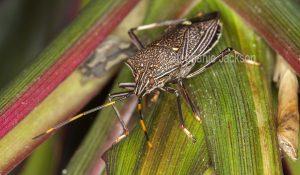 Gum tree shield bug, Poecilometis species in Queensland Australia.