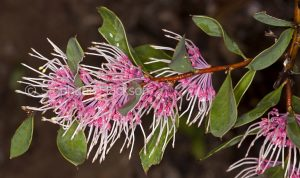Unusual flowers and green leaves of Hakea 'Burrendong Beauty', a drought tolerant Australian native shrub.
