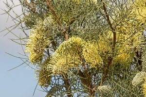 Flowers of Hakea divaricata, Corkwood Tree in Port Augusta botanic gardens, South Australia.