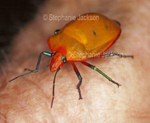 Colourful bright orange female Harlequin bug, Tectocoris diophthalmus, on man's arm, in Queensland Australia.