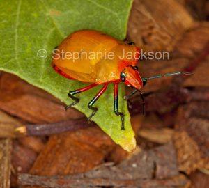 Orange Female Harlequin bug, Tectocoris diophthalmus, on leaf of cotton tree, hibiscus species, in Queensland Australia.