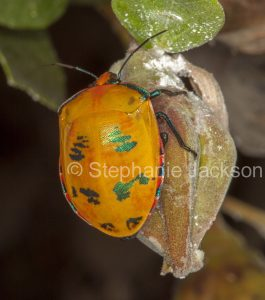 Colourful Harlequin bug, Tectocoris diophthalmus, on flower bud of cotton tree, hibiscus species, in Queensland Australia.
