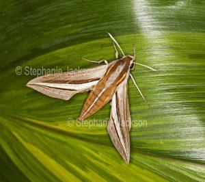 Vine hawk moth, Hippotion celerio, on cordyline leaf.
