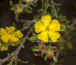 Yellow flower of Australian native plant, a Hibbertia species.