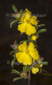 Flowers, buds and foliage of Hibbertia species, a low growing shrub, in NSW Australia.