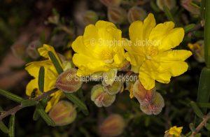 Yellow flowers of Hibbertia linearis in Blackdown Tablelands National Park in central Queensland Australia