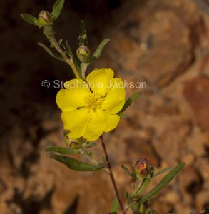 Yellow flower of Hibbertia linearis in Expedition National Park in outback Queensland Australia