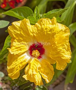 Large yellow flower with bright red centre of Hibiscus 'Granada'.