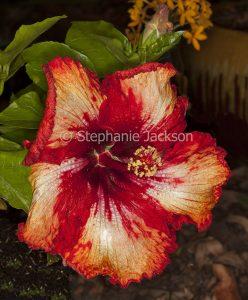 Red and cream flower of Hibiscus 'Milo' on dark background