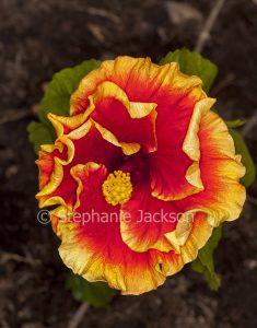 Flower of Hibiscus 'June's Joy' with vivid red petals edged with golden orange