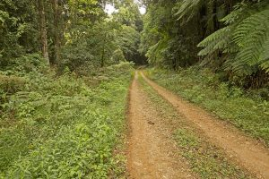 Narrow track leading through dense rainforest of national park near Dorrigo in northern NSW Australia