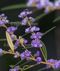 Australian wildflowers, Hovea acutifoliaon, Fraser Island in Queensland Australia