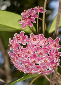Cluster of deep pink flowers of Hoya carnosa 'Royal Hawaiian', twinging climbing plant, Wax Flower.