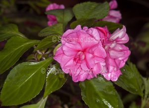 Double pink flowers and dark green leaves of Impatiens cultivar.