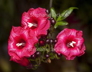 Vivid red flowers and buds of climbing plant, Ipomoea horsfalliae, Cardinal Climber on dark background