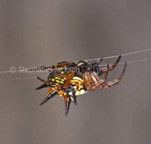 Jewel spider, Austracantha minax on its silken thread, in a garden in Queensland Australia.