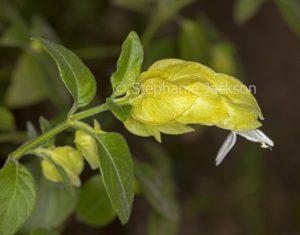 Yellow flower / bracts of Justicia brandegeeana lutea syn. Beloperone guttata, Yellow Shrimp Plant on dark green background