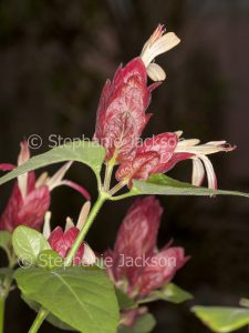 Red flowers / bracts of Justicia brandegeeana syn Beloperone guttata, Shrimp plant on dark background
