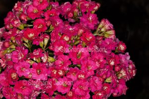Cluster of vivid red flowers of Kalanchoe blossfeldiana, a drought tolerant succulent plant commonly known as Flaming Katy.