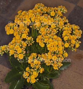Cluster of vivid yellow flowers of succulent plant Kalanchoe blossfeldiana, Flaming Katy