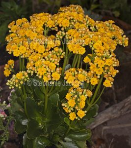 Cluster of vivid yellow flowers of Kalanchoe blossfeldiana, a drought tolerant succulent plant commonly known as Flaming Katy.