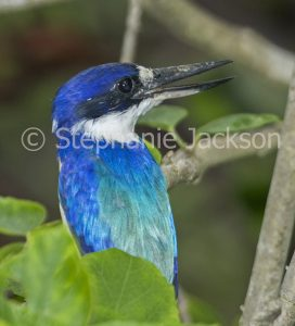 Sacred Kingfisher, Todiramphus sanctus, among foliage of a shrub in a garden in Queensland Australia.