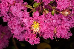 Deep pink flowers of Lagerstroemia indica, a deciduous tree known as Crepe Myrtle / Pride of India on dark background